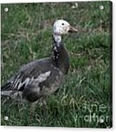 Snow Goose Blue Morph Acrylic Print