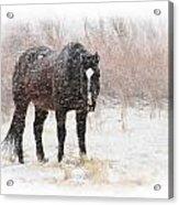 Snow Horse Acrylic Print