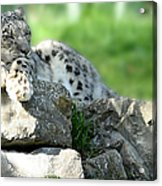 Snow Leopard At Rest. Kitty Time Acrylic Print