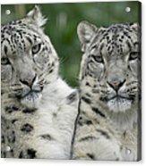 Snow Leopard Pair Sitting Acrylic Print