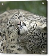 Snow Leopards Playing Acrylic Print