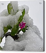 Snow On The Flowers Acrylic Print