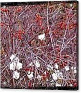 Snowberries And Rosehips Acrylic Print