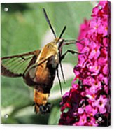 Snowberry Clearwing Moth Acrylic Print