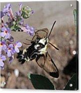 Snowberry Clearwing Moth Feeding Acrylic Print