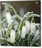 Snowdrops (galanthus Sp.) Acrylic Print