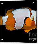 Snowflake Clownfish Acrylic Print