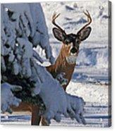 Snowy Buck Acrylic Print