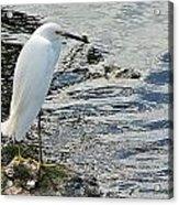 Snowy Egret 2 Acrylic Print