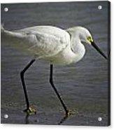 Snowy Egret By The Lagoon Acrylic Print