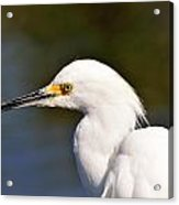 Snowy Egret Close Up Acrylic Print