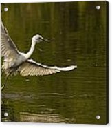 Snowy Egret Fishing In Florida Acrylic Print