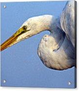 Snowy Egret Ready Acrylic Print