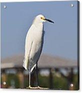 Snowy Egret Stare Down Acrylic Print
