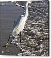 Snowy Egret Walking Acrylic Print