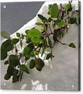 Snowy Manzanita Acrylic Print