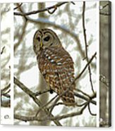 Snowy Morning Owl Triptic - 10dec563a Acrylic Print