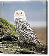 Snowy Owl At Boundary Bay Vancouver Acrylic Print