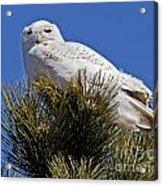 Snowy Owl High Perch Acrylic Print