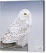 Snowy Owl I Acrylic Print