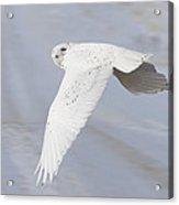 Snowy Owl In Flight In Saskatchewan Canada Acrylic Print