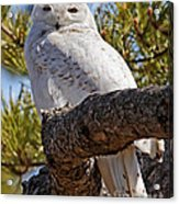 Snowy Owl Resting Acrylic Print