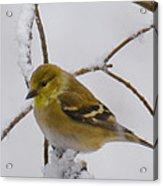 Snowy Yellow Finch Acrylic Print