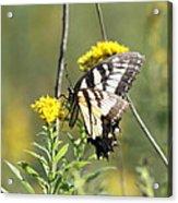 So Fragile - Butterfly Acrylic Print