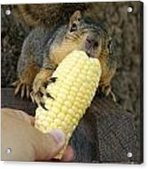 So Much Sweet Corn So Little Time Acrylic Print