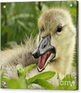 So Much To Say So Little Time For A Gosling Acrylic Print