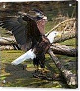 Soaring Eagle Acrylic Print