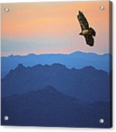 Soaring Red Tailed Hawk At Sunset Acrylic Print