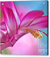 Soft And Delicate Cactus Bloom Acrylic Print
