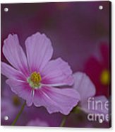Soft And Gentle  Acrylic Print