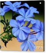 Soft Blue Plumbago  Acrylic Print