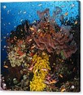Soft Coral And Sea Fan, Fiji Acrylic Print