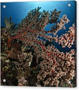 Soft Coral Reef Seascape, Indonesia Acrylic Print