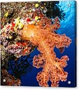 Soft Coral Seascape, Fiji Acrylic Print