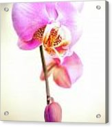 Soft Pink Orchid Acrylic Print