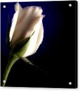 Soft Pink Rose Blue Background Acrylic Print