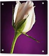 Soft Pink Rose On Deep Pink Background Acrylic Print