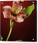 Soft Red Lilly Flower Acrylic Print