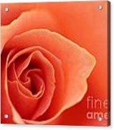 Soft Rose Petals Acrylic Print