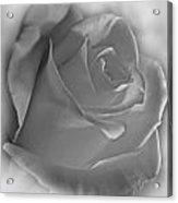 Soft White Rose Acrylic Print