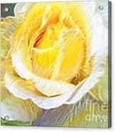 Softly Blooming Rose Acrylic Print