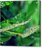 Water Droplets On Green Leaves Acrylic Print