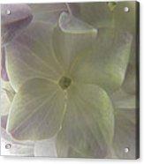 Softly Lit Hygrangea Bloom Acrylic Print