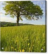 Solitary Oak Tree And Wildflowers In Acrylic Print