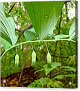 Solomon's Seal Wildflower - Polygonatum Commutatum Acrylic Print