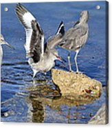 Something To Squawk About Acrylic Print
